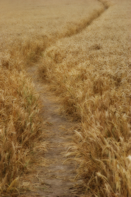 Path through the wheatfield