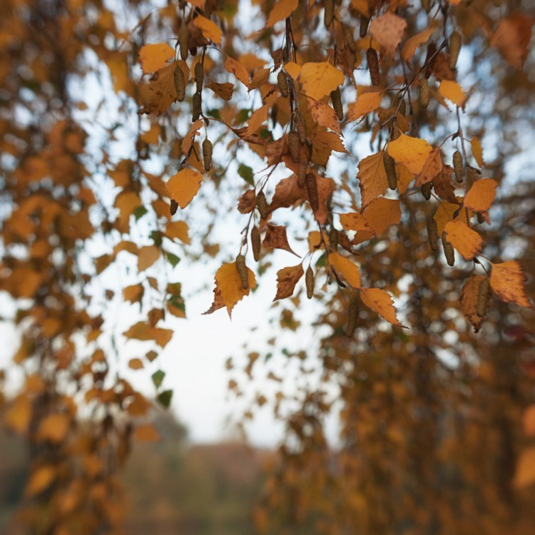 Autumn leaves, Lensbaby