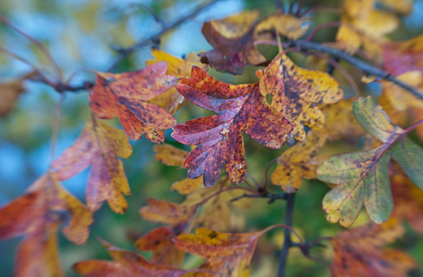 Autumnal hawthorn leaves, Lensbaby