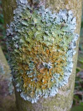 A large ash tree has fallen in the storms, this beautiful lichen was growing on one of it's upper branches.