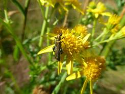 Fat legged flower beetle on the much maligned ragwort
