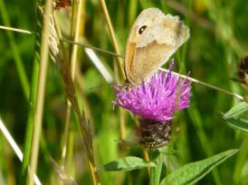 Meadow brown butterfly on knapweed