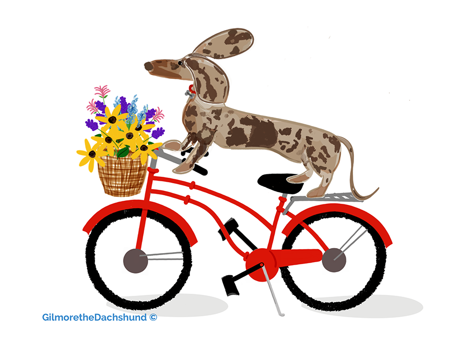 """Teckel """"Thank you so very much from the bottom of my bicycle riding heart to Gilmore's @gilmorethedachshund Mum Liz for creating this beautiful drawing of lil ol me! It's perfect I absolutely love it"""" Susie-California"""