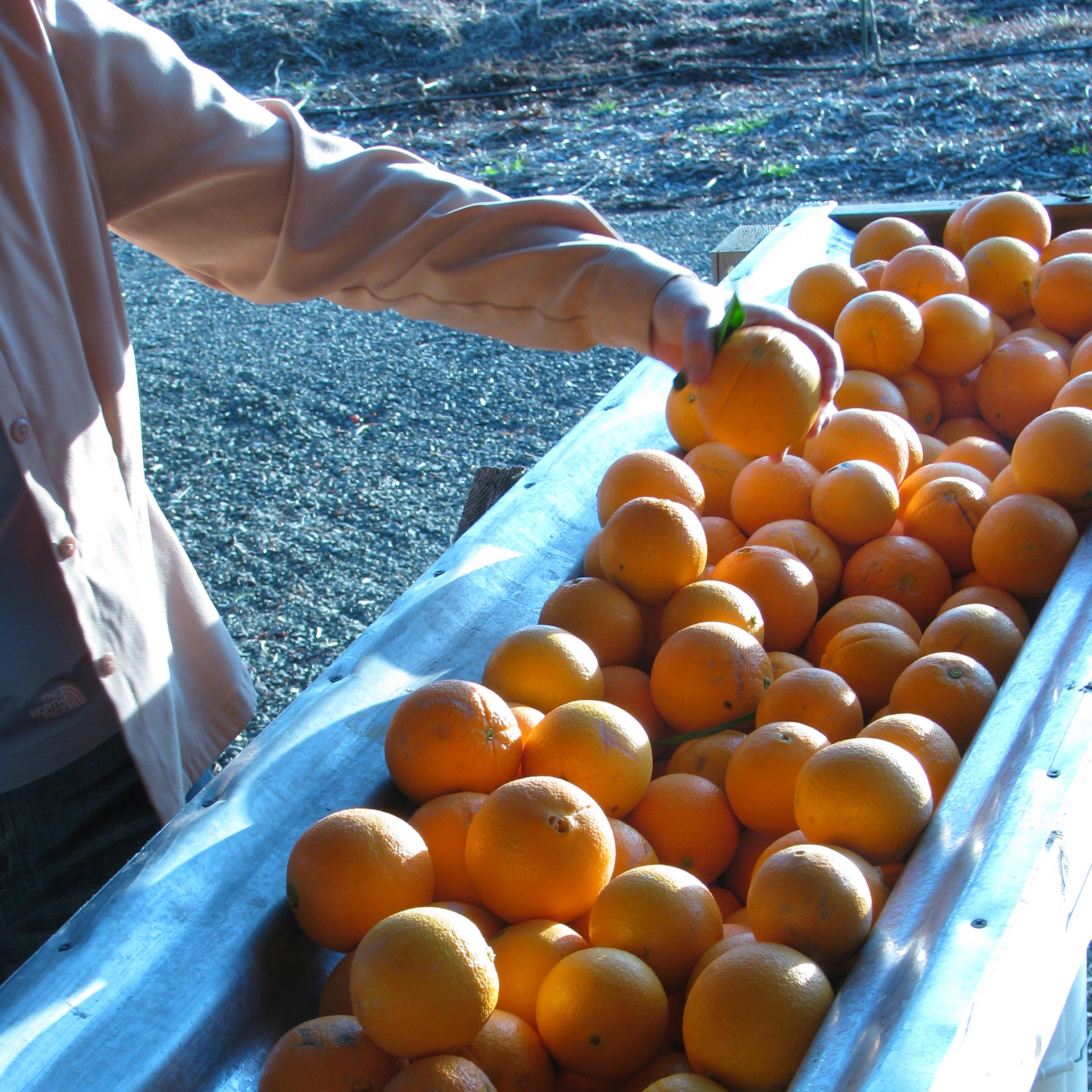 Oranges Getting Sorted
