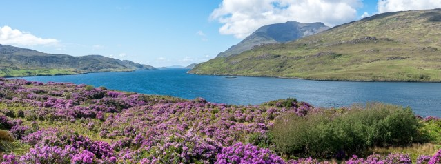 Champs de rhododendrons - Killary fjord