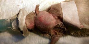 В статье рассказано о том, что такое ингаляционный наркоз и как его применяют в ветеринарии. Автор: Рогозина Елизавета Игоревна.