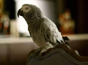 Ветеринар-орнитолог Беломытцева Наталия Владимировна рассказывает о том, как понять, что птица заболела. и какие хронические признаки нездоровья бывают у птиц.