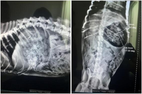 Рис. 2. Собака. Рентгеноконтрастные инородные тела в желудке.