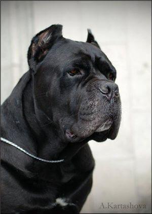 Пример купированной собаки породы кане-корсо.
