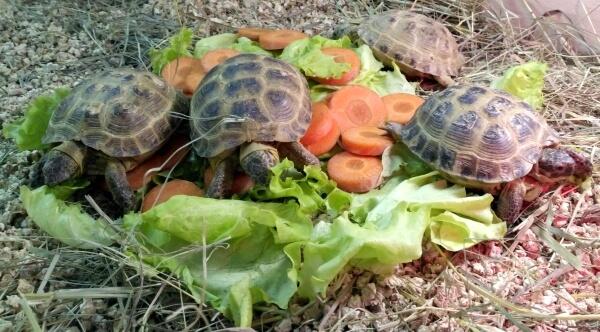 Кормление среднеазиатских черепах