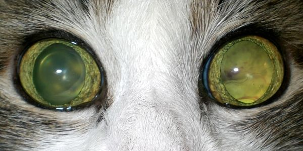Отслоение сетчатки у кошки. Офтальмологическое обследование