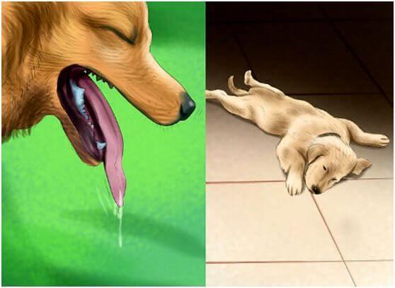 Симптомы теплового удара у собаки: обильное слюнотечение, вялость, желание спрятаться в тени.