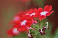 Decorative Red Flowers with White Spots | gimmeges