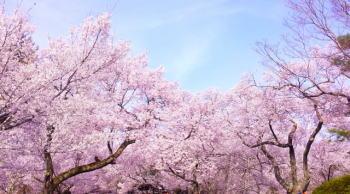 平日の大宮公園お花見の場所取りは何時までに行けばいい?