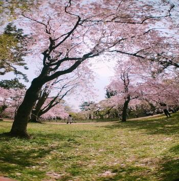 京都御所のお花見に関するまとめ