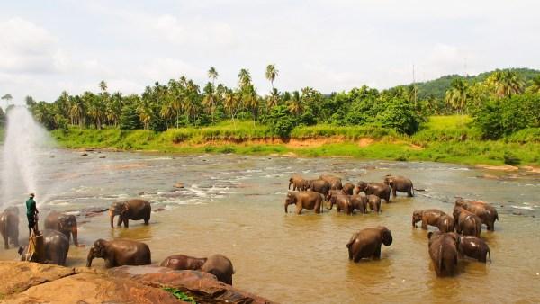 ピンナワラ象の孤児院