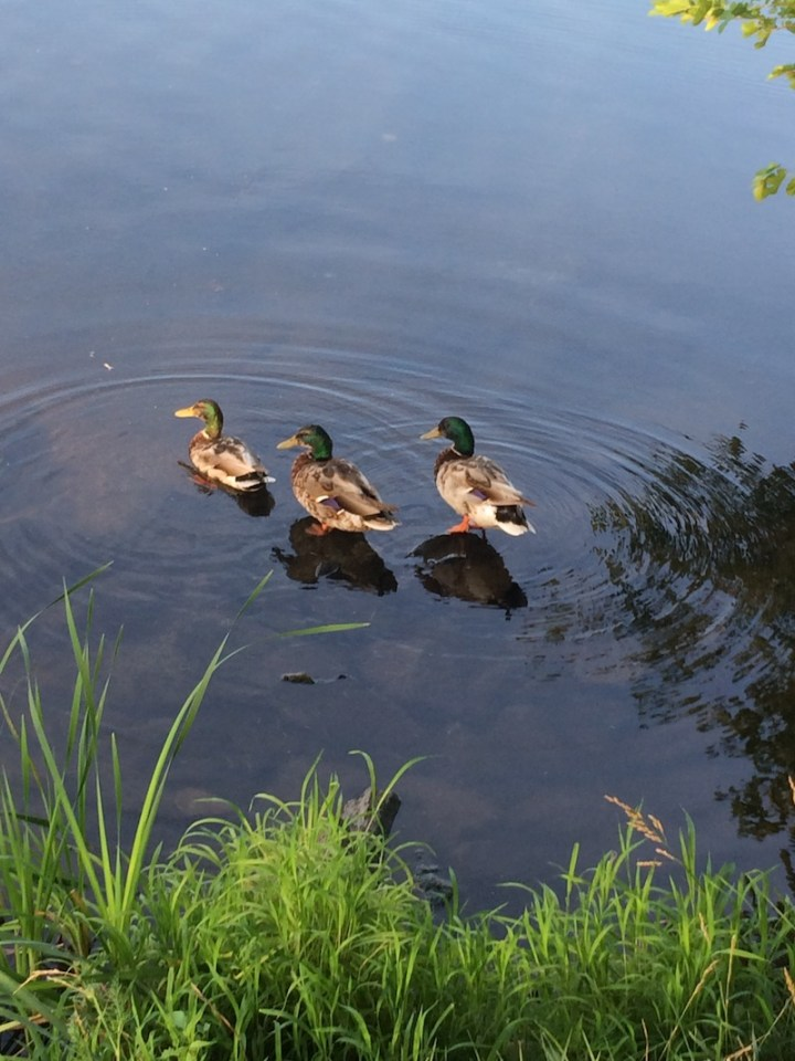 Mallard Ducks in a Lake