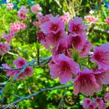 Alluring Sakura Spots in Okinawa
