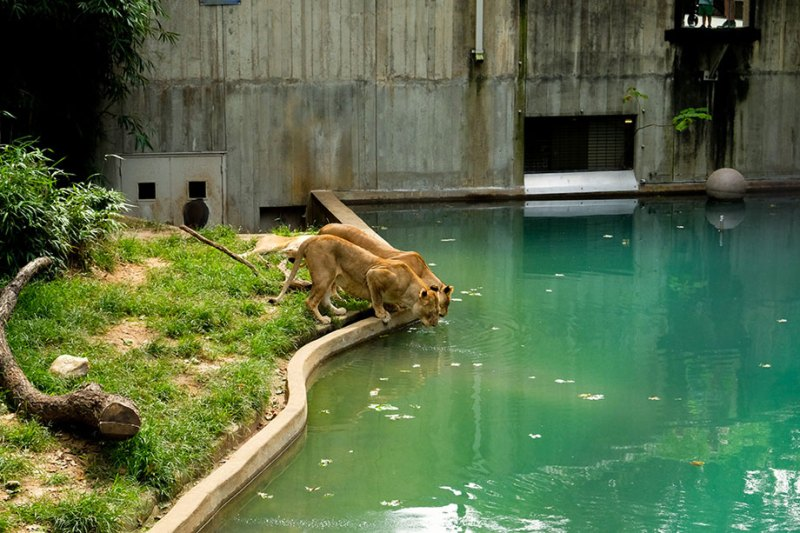 lionnesses drinking water