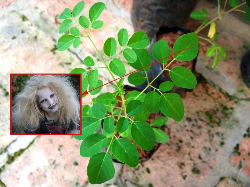 daun kelor sebagai penangkal ilmu hitam mistik