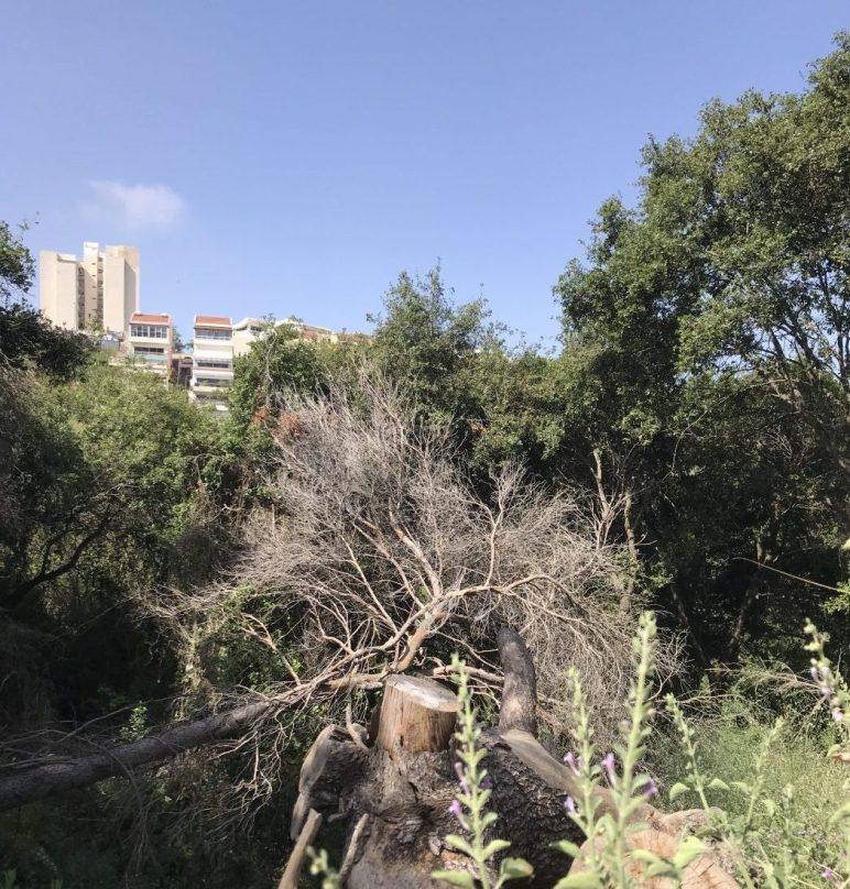 החורש שבנחל אחוזה בחיפה נשרף ב2016. האורנים מתו אך החורש הטבעי כמעט ולא נפגע.
