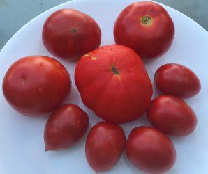 עגבניות אחרונות לעונה