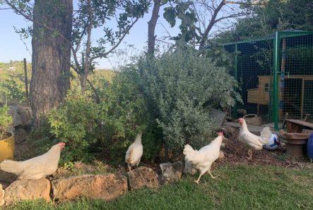 תרנגולות הבית