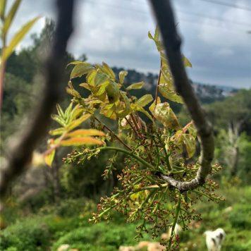 שביל הטראסות - עץ אלה ארץ ישראלית, מלבלב באביב