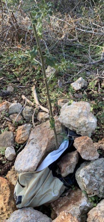 שביל הטראסות- שיקום עץ אלון פגוע היוצא מגדם