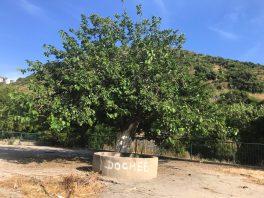 עץ התות הענקי שבמרכז הבוסתן