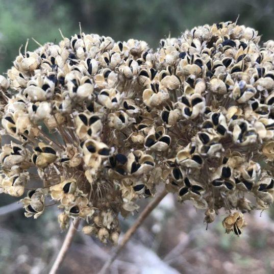 זרעים של שום הבר בקיץ יוני-יולי) כאשר ניתן לאסוף ולהפריד את הזרעים מהמוץ שעוטף אותם כדי לשמרם.