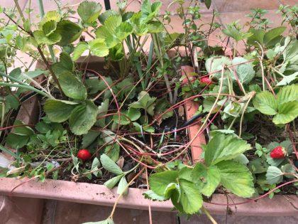 תות שדה באדנית בתחילת הקיץ. אחרוני התותים נראים לצד השלוחות שיוצאות השיחים