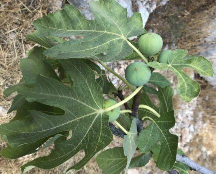 נטיעת עצי פרי
