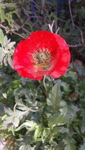 פרגים ניתנים לשתילה כשתיל בתחילת החורף או מזרעים. בקיץ זרעי הפרג יתפזרו ויש סיכוי טוב לקבל מרבד גדול יותר בשני הבאות