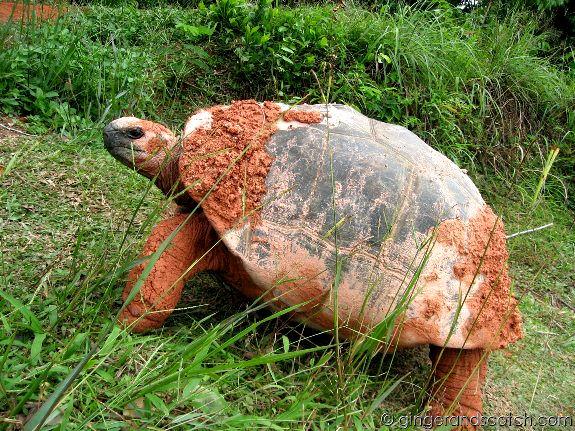 Giant Tortoise