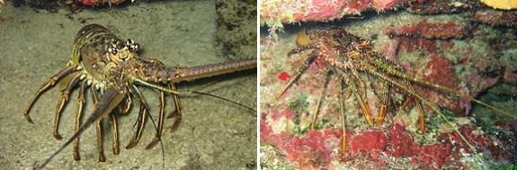 Caribbean Lobsters