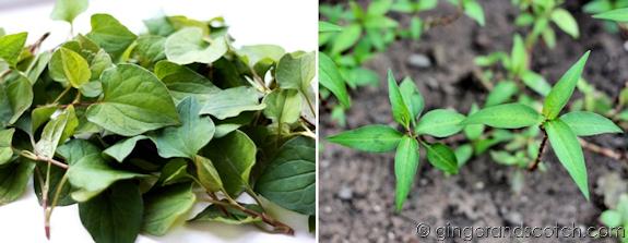 vietnamese herbs - rau dap ca and rau ram