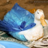 The Mekong Poultry Vendor – Duck in a Bag All Ready for Transport