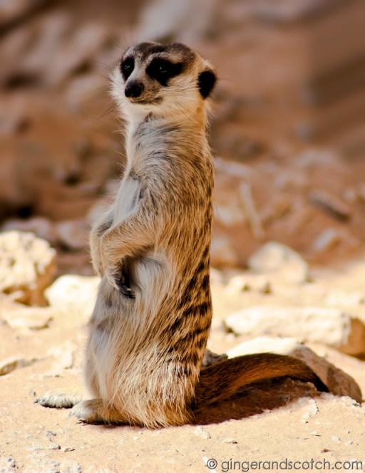 Al Ain Zoo - meerkat