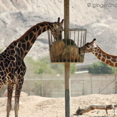 A Visit to the Al Ain Zoo and Wildlife Center