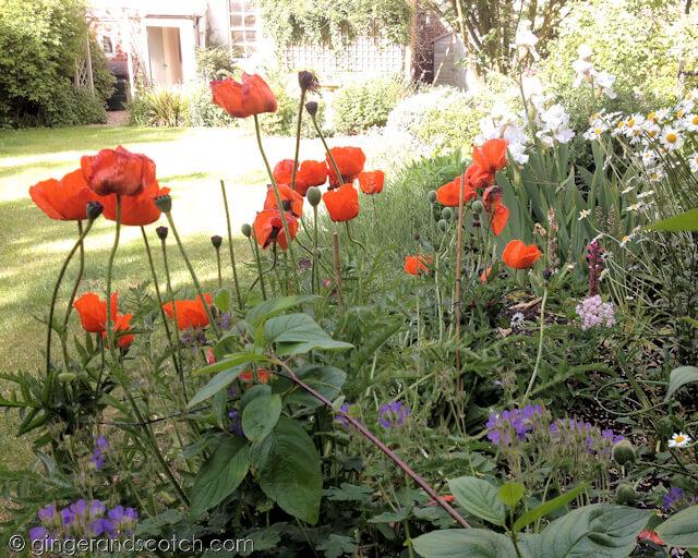 Dunbar garden - poppies