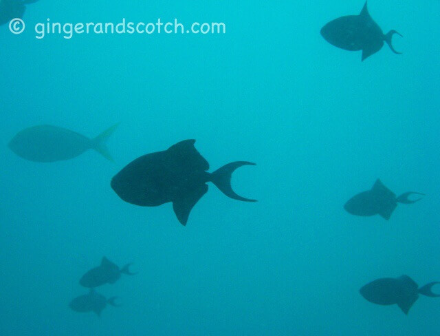 school of triggerfish