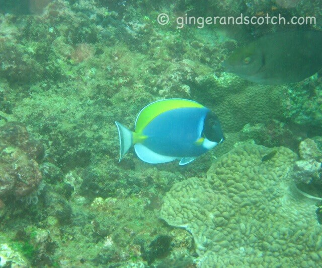 """Dory"" Surgeonfish"