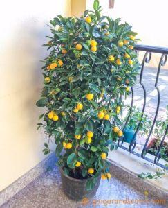 Garden Orange Plant