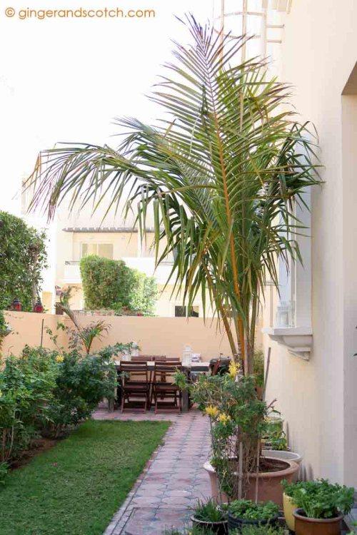 Coconut Palm in pot