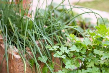 Onion Chives and Parsley
