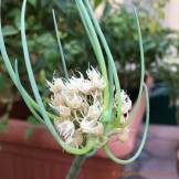 Green onion flower