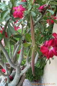 Desert Rose Seed Pod