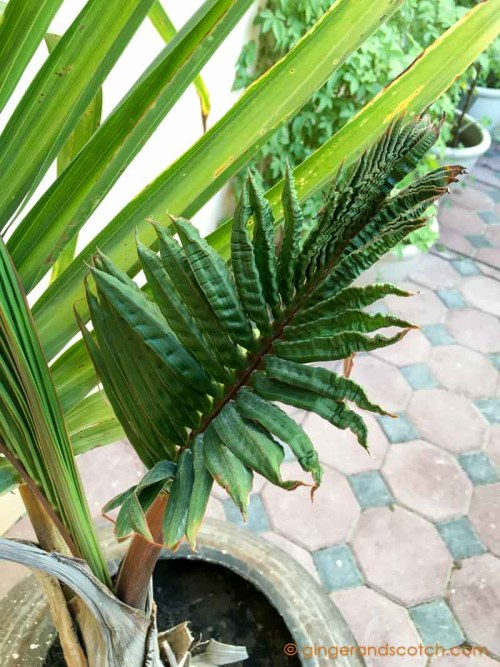 Bottle Palm in Pot - Dubai