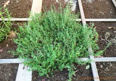 Thyme is growing well in the ground